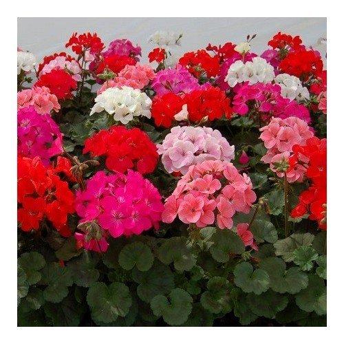 geranium-zonale-colorama-varie-30-graines