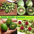 15x MINI Kiwi Selbstbefruchtend Samen Hingucker Pflanze Garten Selten Rarität Obst #204 von Import - Handel Ipsa - Du und dein Garten