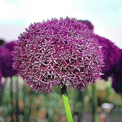 Zierlauch Purple Sensation von Meingartenshop bei Du und dein Garten