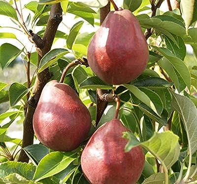 Rote Williams, Herbstbirne, Birne als Busch ca. 100-120 cm im 5 Liter Topf, Slg. von Grüner Garten Shop bei Du und dein Garten