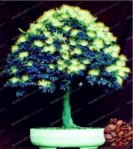 Graines vivaces Albizia fleur (Albizia julibrissin) Fleur Bonsai Arbre Graines Arbre d'ornement Maison, Jardin 20pcs / Sac 6