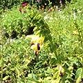 lichtnelke - Salbei ( Salvia bulleyana ) von Lichtnelke Pflanzenversand - Du und dein Garten