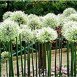 Tomasa Samenhaus- Blumensamen Echinops 50/100 Stück, Rarität Zierblumen Samen Kugeldistel saatgut Gartenblumen