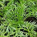 lichtnelke - Maca / Peruanischer Ginseng (Lepidium peruvianum) GELB von Lichtnelke Pflanzenversand auf Du und dein Garten
