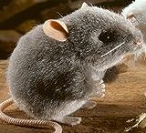 Kösener 5560 - Maus