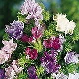 Natternkopf Seeds Mix (Echium plantagineum) Jahres Bell-Blumen