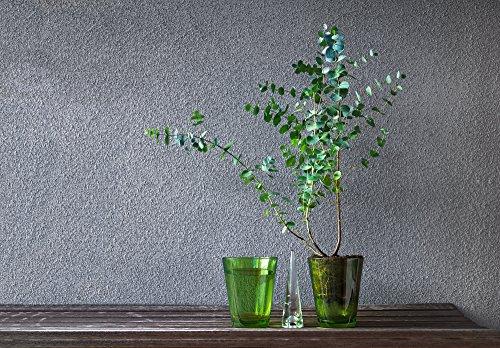 Blaugummibaum Eukalyptus 10 Samen Eucalyptus gunnii