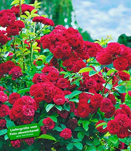 BALDUR-Garten Rambler-Rosen \'Chevy Chase\', 1 Pflanze Kletterrose winterhart mehrjährige Kletterpflanze