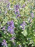 Nepeta x faassenii - Katzenminze, 6 Pflanzen im 5/6 cm Topf