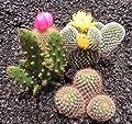 Dominik Blumen und Pflanzen, 6 verschiedene Kakteen-Mix im Set, 8 cm Topf, grün, 40 x 20 x 8 cm von AMZN - Du und dein Garten