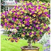 Bougainvillea plant for Bougainvillea bonsai prezzo