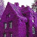 Keland Garten - Lila Winterharter Efeu Rank- und Kletterpflanzen Samen 100pcs für Wände, Zäune, Rankgerüste und Pergolen von Keland auf Du und dein Garten