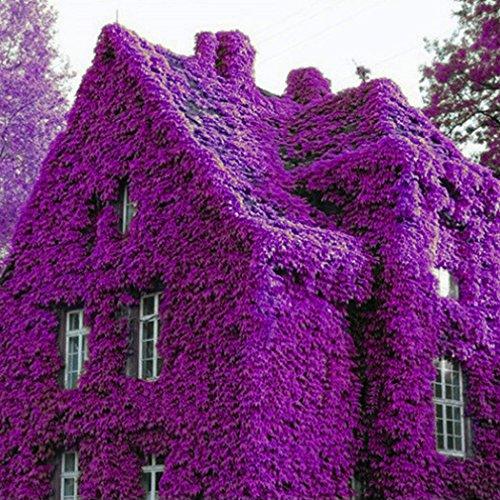 Keland Garten - Lila Winterharter Efeu Rank- und Kletterpflanzen Samen 100pcs für Wände, Zäune,...
