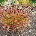 Rotes Ziergras Zierstaude - Miscanthus sinensis Red Chief - verschiedene Größen von GardenPalms auf Du und dein Garten