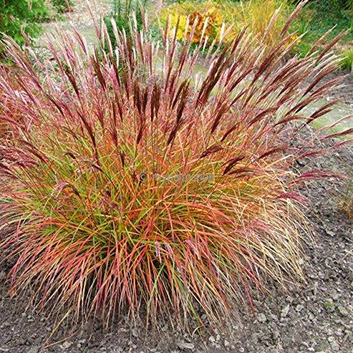 Rotes Ziergras Zierstaude - Miscanthus sinensis Red Chief - verschiedene Größen (2 Ltr.) (Red Chief)