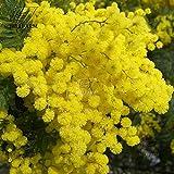 Casavidas BELLFARM 6 Farben Gelb, Rosa, Rot Mimose Bonsai Blumen Mimose Hausgarten Bonsai Hoch Germination -20pcs / pack: QC368MxT7