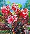 """BALDUR-Garten Canna """"Pink Sunburst®"""",2 Knollen Canna indica Indisches Blumenrohr von Baldur-Garten bei Du und dein Garten"""
