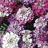 SeeKay - Iberis umbellata Dwarf Fairy mix - Candytuft - Approx 750 seeds