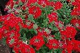 Red Nana-Compacta-Duftblumensamen Scarlet Verbena, 50 Samen