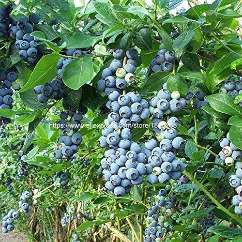 sanhoc 30 pezzi blueberry bonsai seedsplants piante da frutto albero highbush mirtilli fai da te countyard bonsai per il giardino di casa facile da coltivare b40: 5