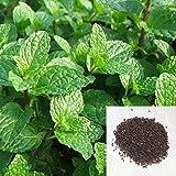 #5: SENECIO® Mentha Piperita Peppermint Pack Of 50 Seeds By GalexiaR®