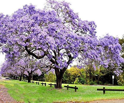 AGROBITS 100+ Paulownia Samen Kronprinzessin Baum Tomentosa am schnellsten wachsenden Schattenbaum
