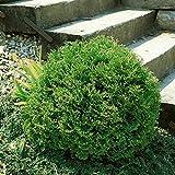 Dominik Blumen und Pflanzen, Lebensbaum, Formgehölz, Thuja