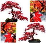 10x Rot Ahorn Baum Samen–Acer rubrum–Hervorragende für japanische Bonsai–wächst in voller Sonne oder Halbschatten–Zonen 5–9–von myseeds. CO, Modell:, Home & Garden Store