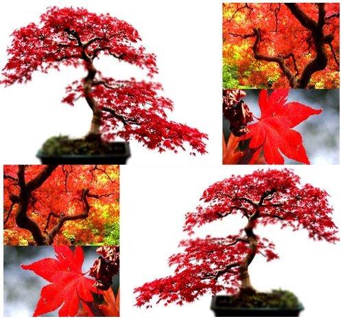 10x rosso acero semi–Acer Rubrum–eccellente per bonsai giapponese–cresce in pieno sole o parziale paralume fuso–5–9–by Myseeds.Co, modello:, casa & Garden Store
