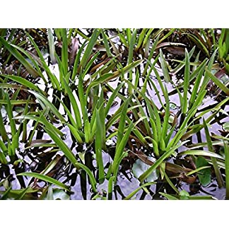 3 water soldier, Stratiotes aloides, garden pond, frost-hardy 3 water soldier, Stratiotes aloides, garden pond, frost-hardy 61NgcwgKLjL