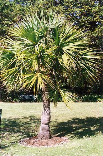 Sabal minor 10 x Samen -Zwergpalmetto- Palmensamen -