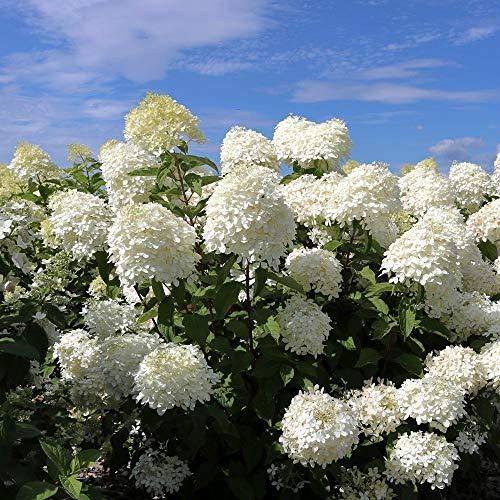 Hydrangea paniculata Hortensie Rispenhortensie Hortensien Pflanzen winterhart 80 cm Stamm (Hydrangea Phantom 80 cm Stamm)