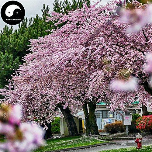 Kaufen Sakura Baum Samen 240pcs Pflanze Prunus Serrulata Für Kirschblüten