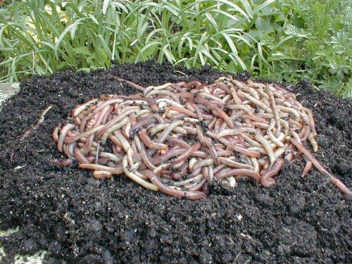 Kompostwrmer-Gartenwrmer-Regenwrmer-05-Kg