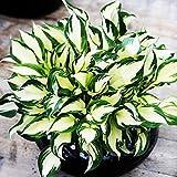Hosta Planta decorativa Plantas de jardin Plantas y flores naturales de exterior 1x Rizoma Hosta Fire and Ice