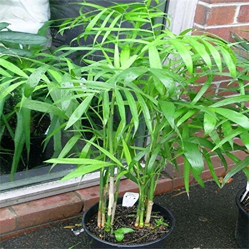 50 Stück 19 Arten Mehrere Farben-Schmetterlings-Orchideen-Samen Balkon Bonsai Seed für DIY Garten #JOYSZO