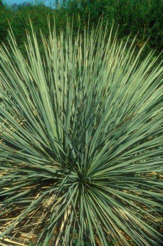 Yucca glauca - Yucca - 5 Samen