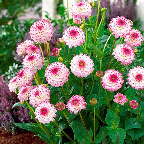 MEIGUISHA Gartensamen-Dahlien Bio riesen faszinierende außergewöhnliche exotische Blumensamen riesige Blütengröße mehrjährig Sommer Blumen Samen pflegeleicht,ideal für Ihr Garten