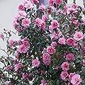 Japanische Kamelie Rosa von Meingartenshop auf Du und dein Garten