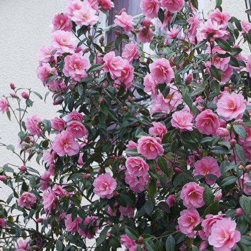 Camellia plants - Camelia planta ...