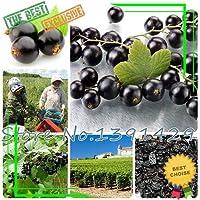 ScoutSeed Semillas de Frutas 100pcs Semillas de Grosella Negra Bayas arbusto