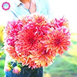 25pcs Dahlia pinnata flor Bonsai Semillas Fácil El cultivo perenne florecientes plantas para jardín balcón patio de la cubierta 1