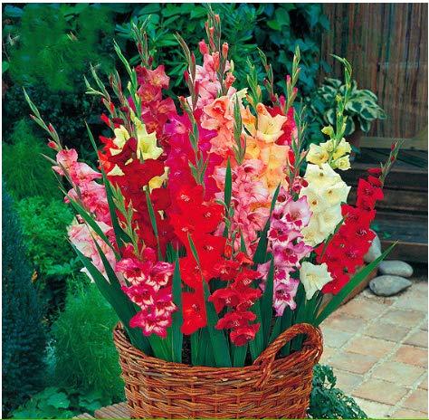Tomasa Samenhaus- Winterhart Gladiole Blumensamen Riesen Gladiolen zwiebeln mehrjährig bunt Mischung Gladiolen Beet- und Schnittmischung für Terrase/Balkon/Garten (50 Stücke, 04)