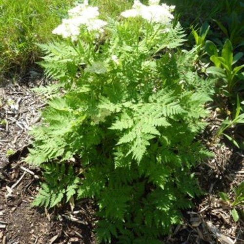 600 Samen Anis – Pimpinella anisum, vielseitig verwendbar