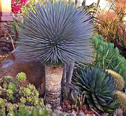 Generic Seeds: Yucca rostrata exotische Farbe Joshua Samen Hardy Wüste Caudex 4' Seed