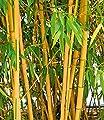 BALDUR-Garten Goldener Peking Bambus,1 Pflanze von Baldur-Garten - Du und dein Garten