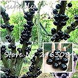 Semillas de plantas ornamentales Plinia cauliflora Semillas 100 piezas de fruta familia Myrtaceae Jabuticaba Novel planta bra