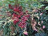 Heiliger Bambus, Himmelsbambus 'Fire Power'® - starke Pflanze im grossen 5lt Topf