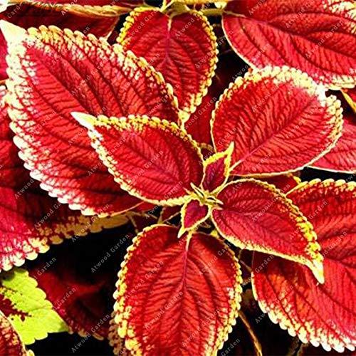 IDEA HIGH Graines-ZLKING 100 PCS Chinois Rare Original Naturel Organique Rouge Coleus Bonsaï Beau Blumei Plantation Rainbow Décoration Jardin