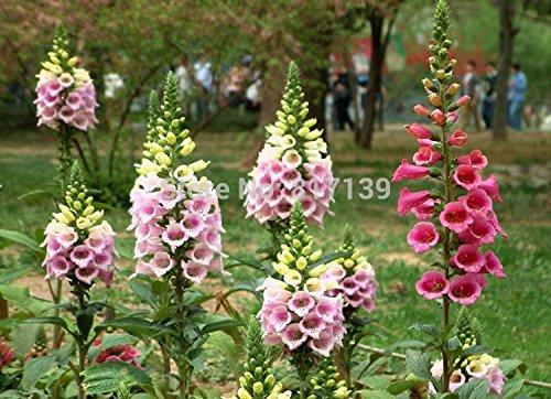 Bon marché de charme 100 Graines jardin Foxglove Digitalis purpurea Fleur